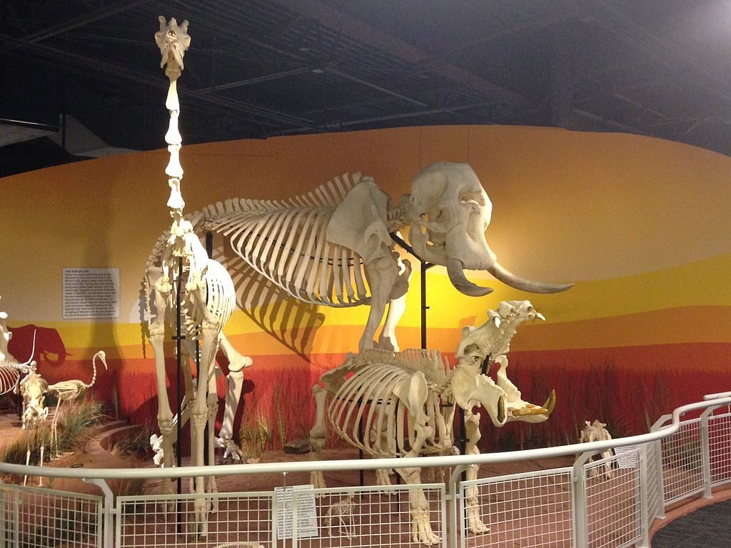 """Skeletons: Animals Unveiled"" by JimJones1971 is licensed under Wikimedia Commons"